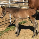 "EARRESISTABLY HOT ""Roo"" - filly out of Ears The Escape (Owner: Janae Walker Bronson)"